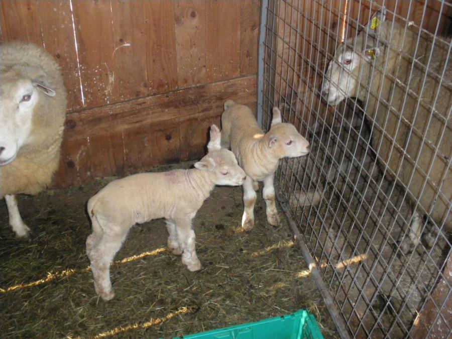 moutons 005.jpg
