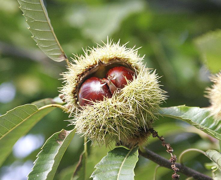 736px-Chestnuts.jpg