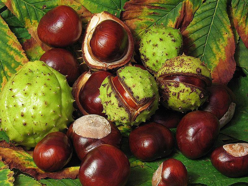 800px-Aesculus_hippocastanum_fruit.jpg