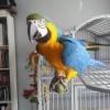 Adopter un Ararauna - dernier message par Mika