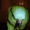Poule orpington - dernier message par ULY