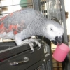 Le picage du perroquet, ce rubicube de l'inconscient - dernier message par melusine