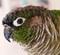 perroquet qui baille - dernier message par coquelicot